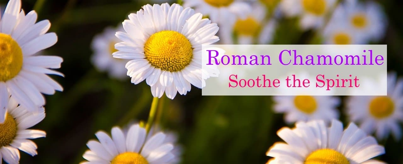 About Roman Chamomile Essential Oil