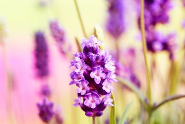 Enlighten your body-mind connection lavender