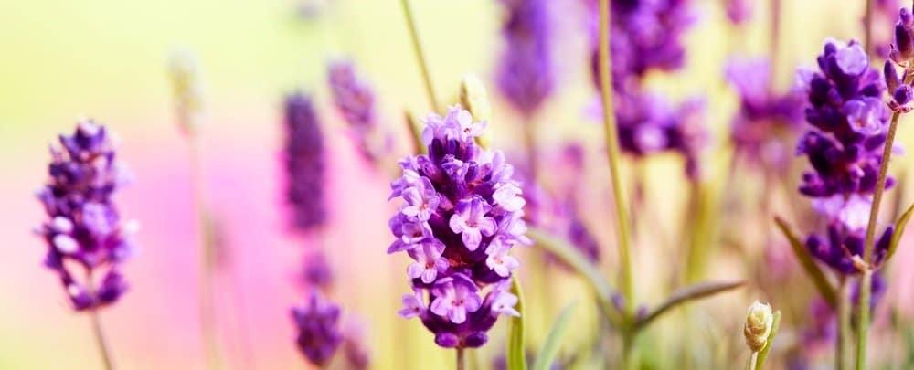 Enlighten your body-mind connection lavender