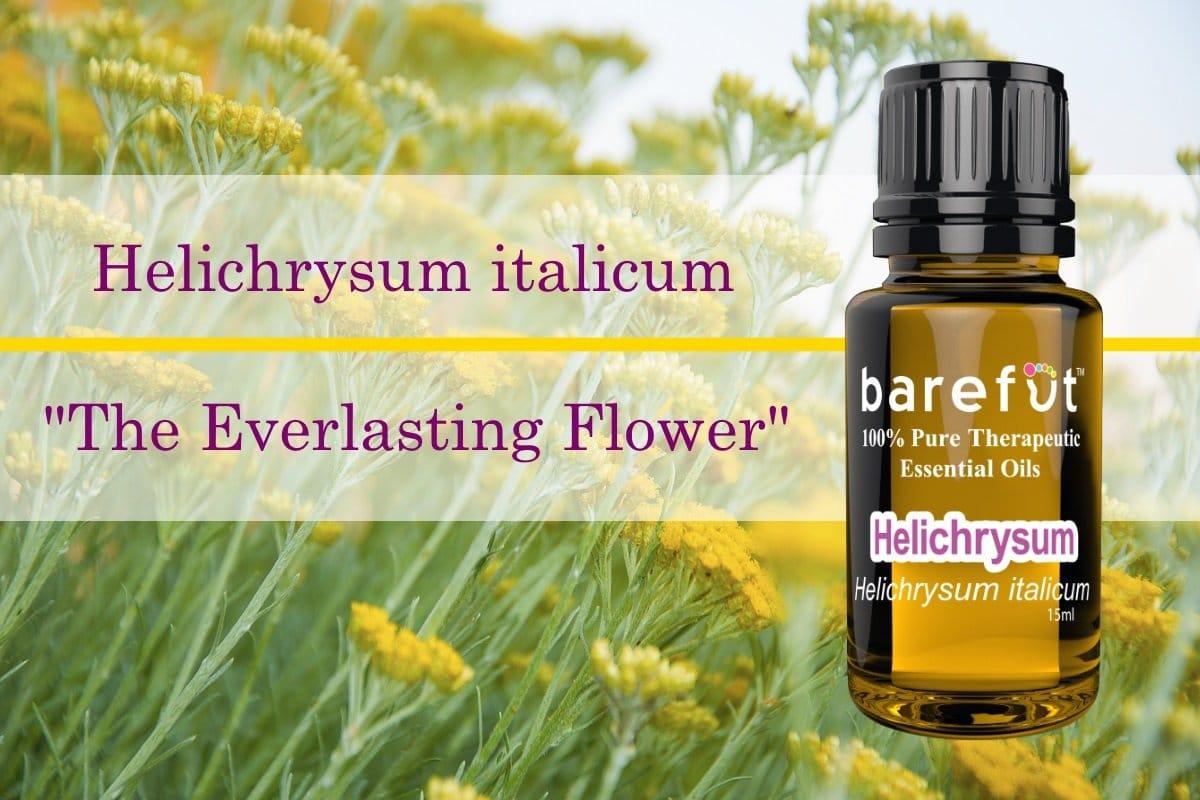 Helichrysum italicum Essential Oil The Everlasting Flower