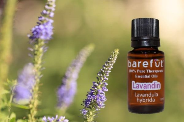 Lavandin Essential Oil - Highest Quality
