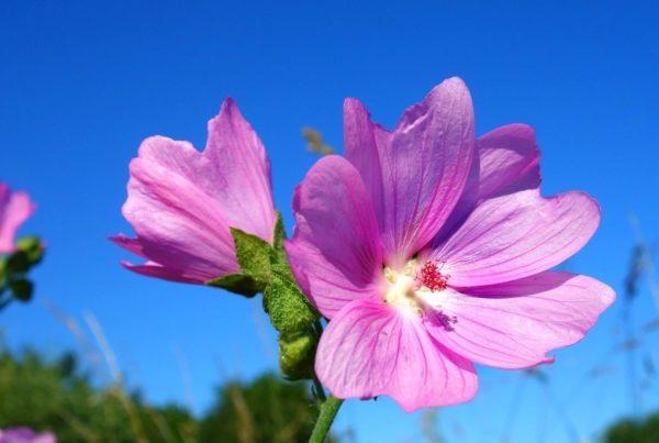 geranium essential oil recipes barefut
