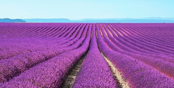 6 Ways to Use Lavender Essential Oil